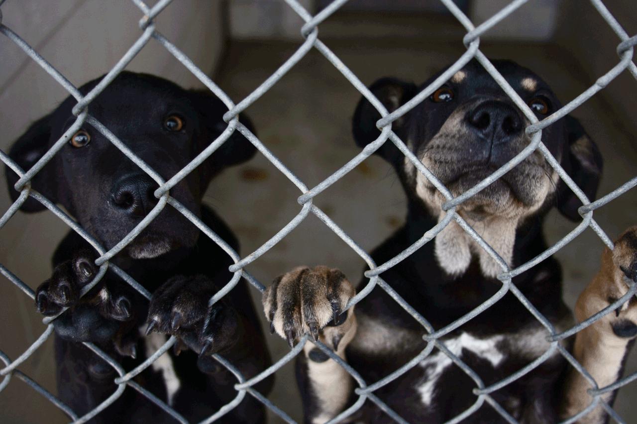 Cani custoditi in un canile in attesa di adozione